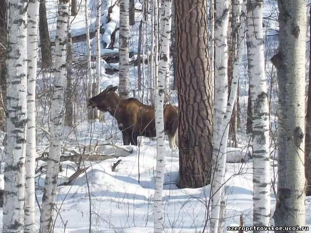 Охота на лося с лайкой (по чернотропу и мелкому снегу) Здесь лоси чувствуют себя спокойнее